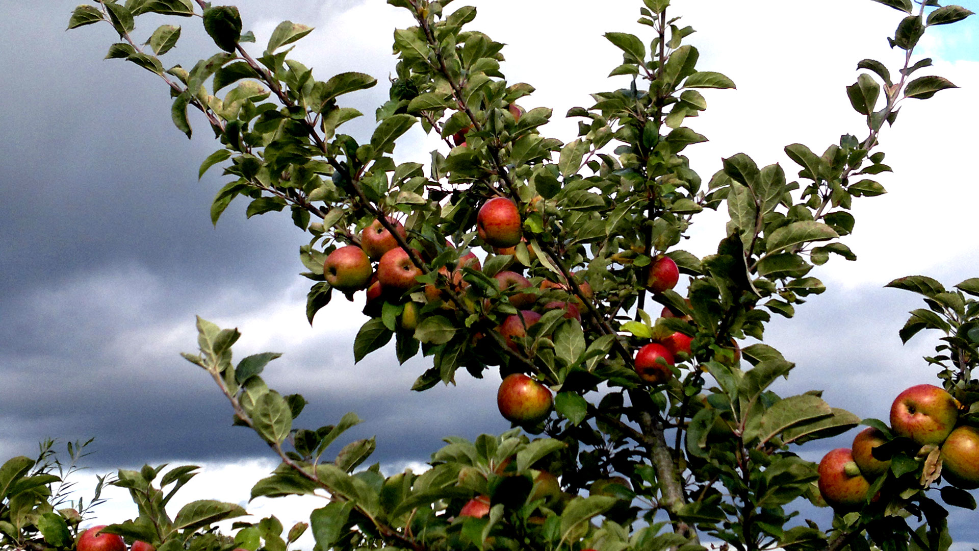 Sussex apples