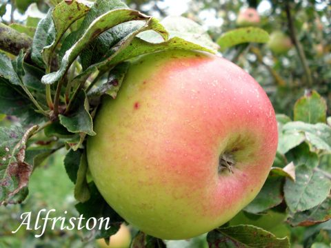alfriston apple variety