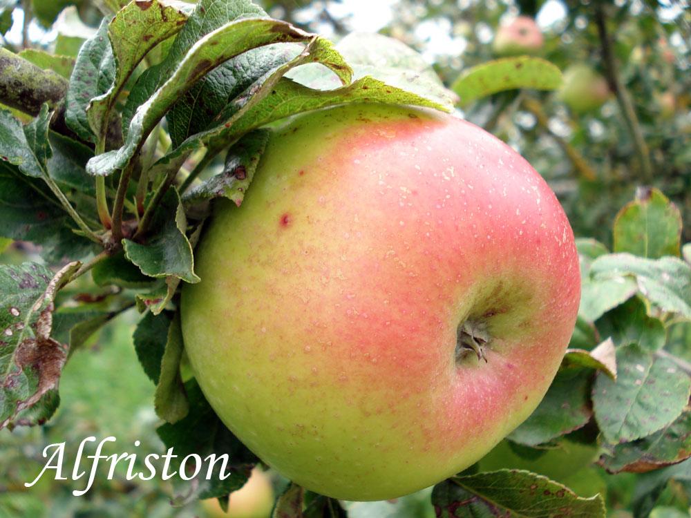 alfriston apple variety