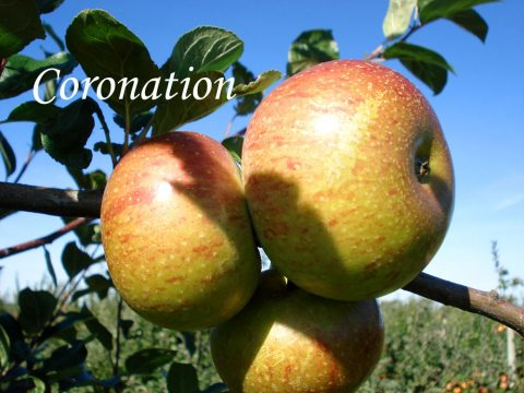 Coronation apple