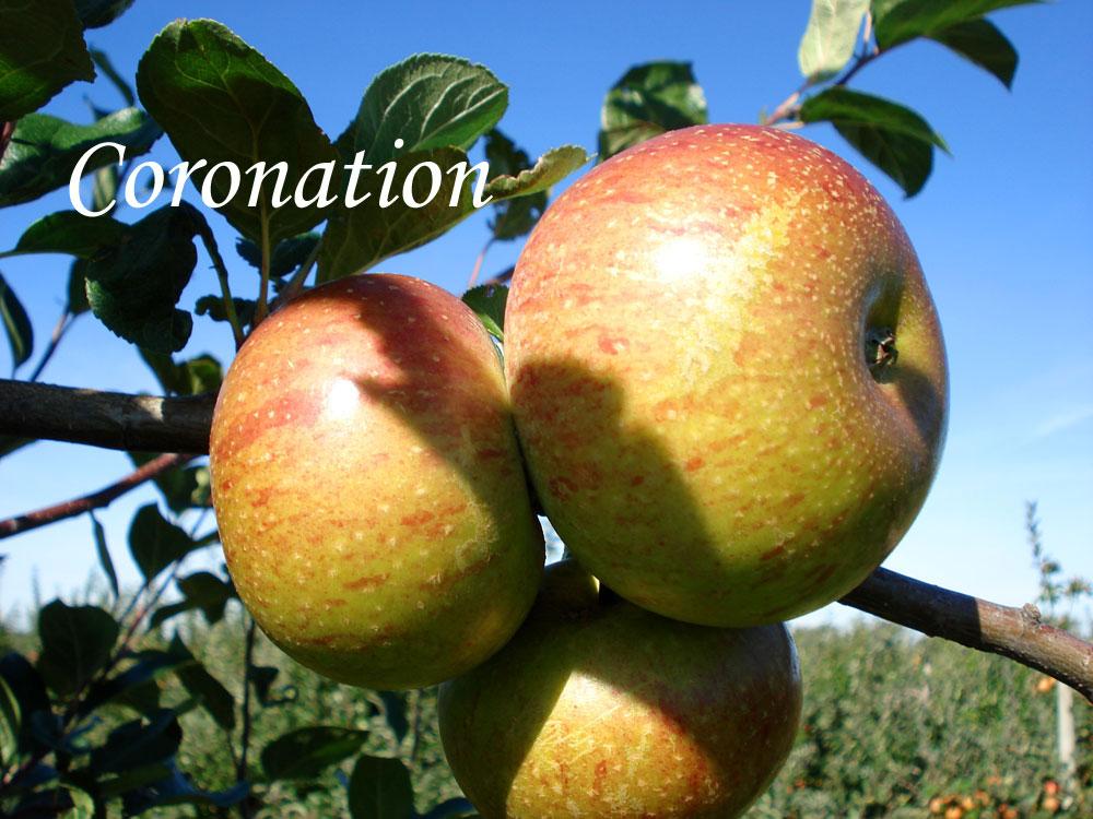 Coronation apple