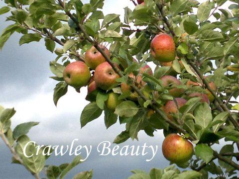 Crawley Beauty apple