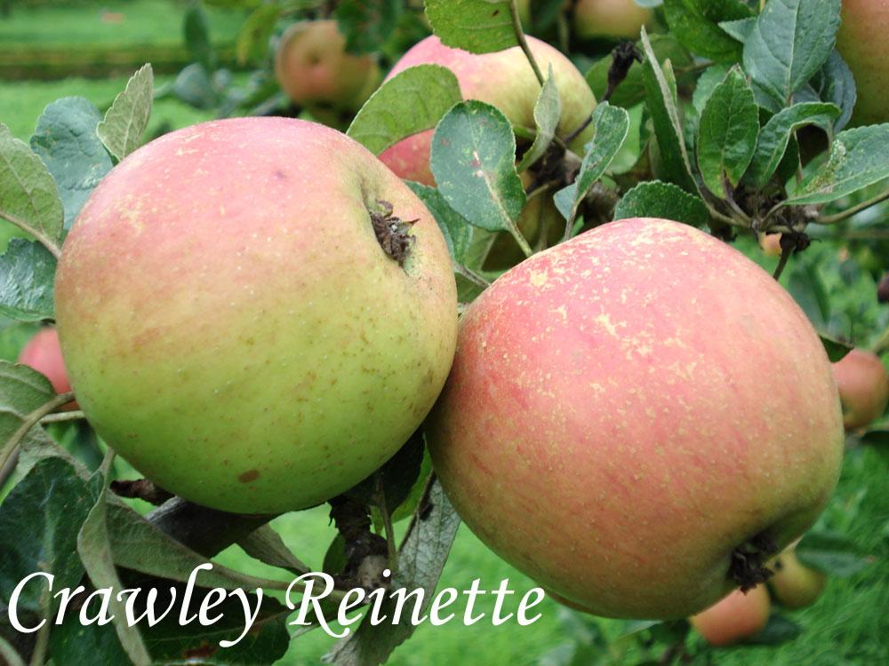 Crawley Reinette apple