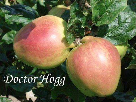 Doctor Hogg apple