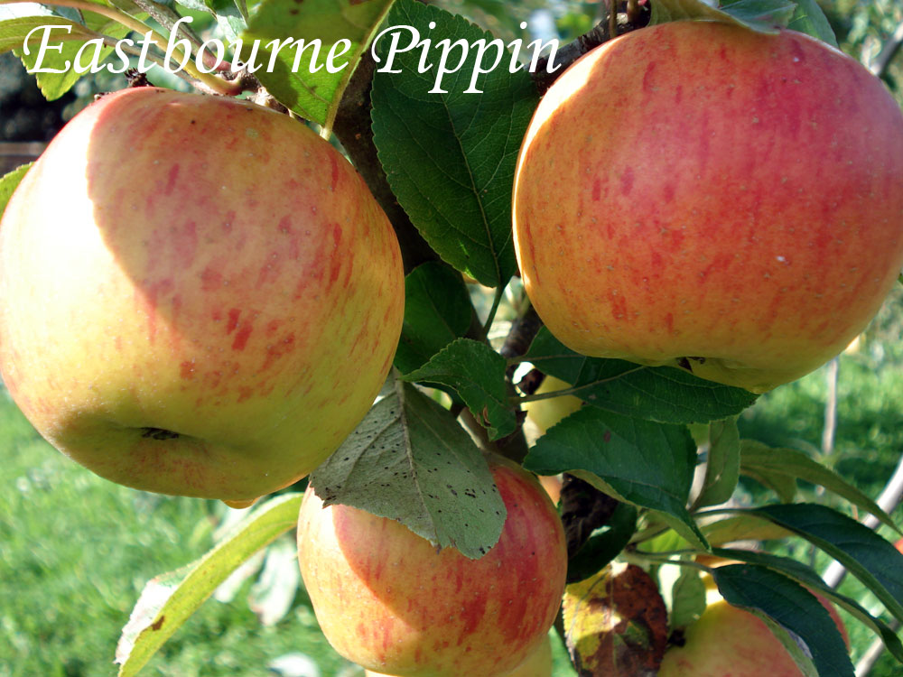 eastbourne pippin apple variety