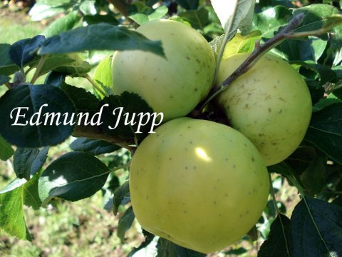 Edmund Jupp apple variety