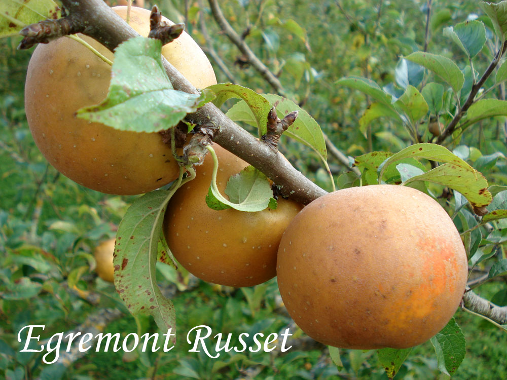 Egremon Russet apples