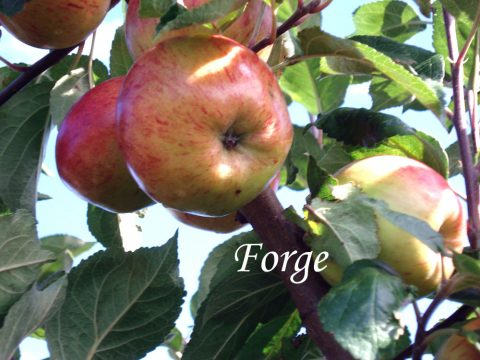 Forge apple
