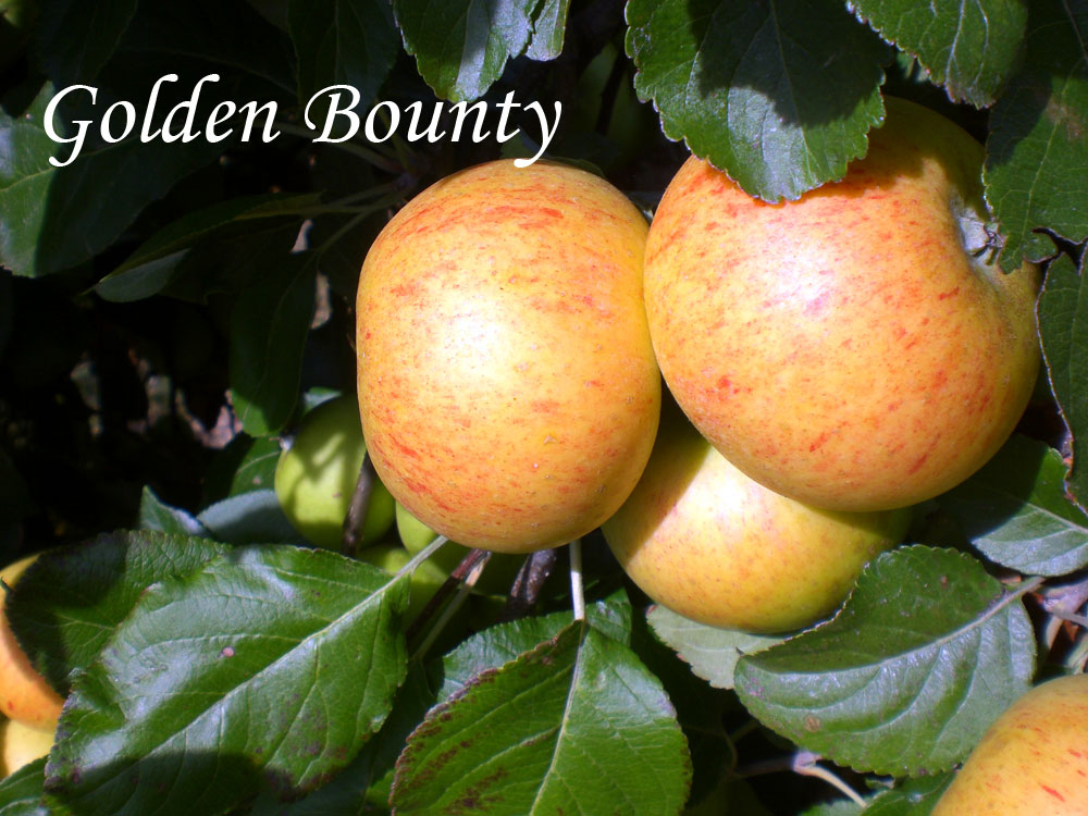 golden bounty apple variety