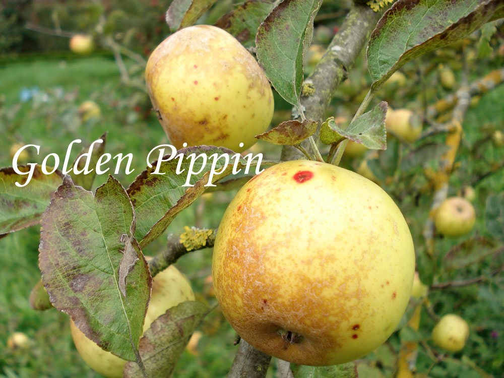 Golden Pippin apple