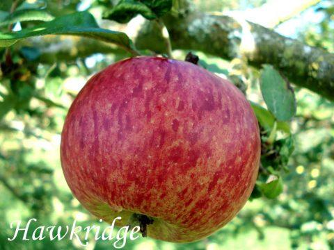 Hawkridge apple