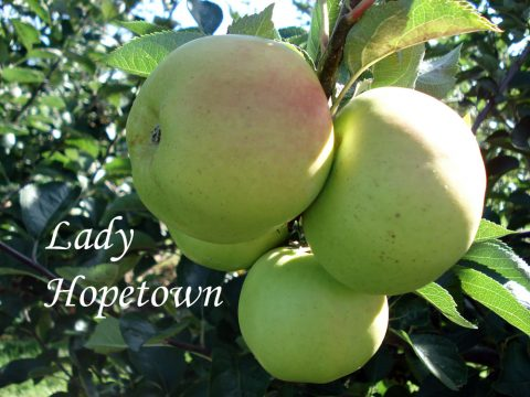 lady hopetown apple variety