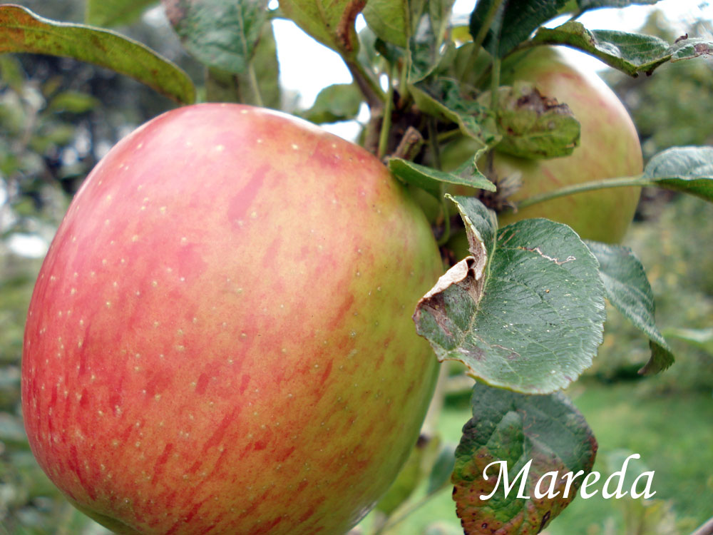 mareda apple variety