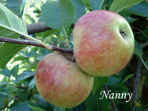 nanny apple variety