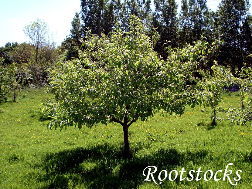 rootstocks