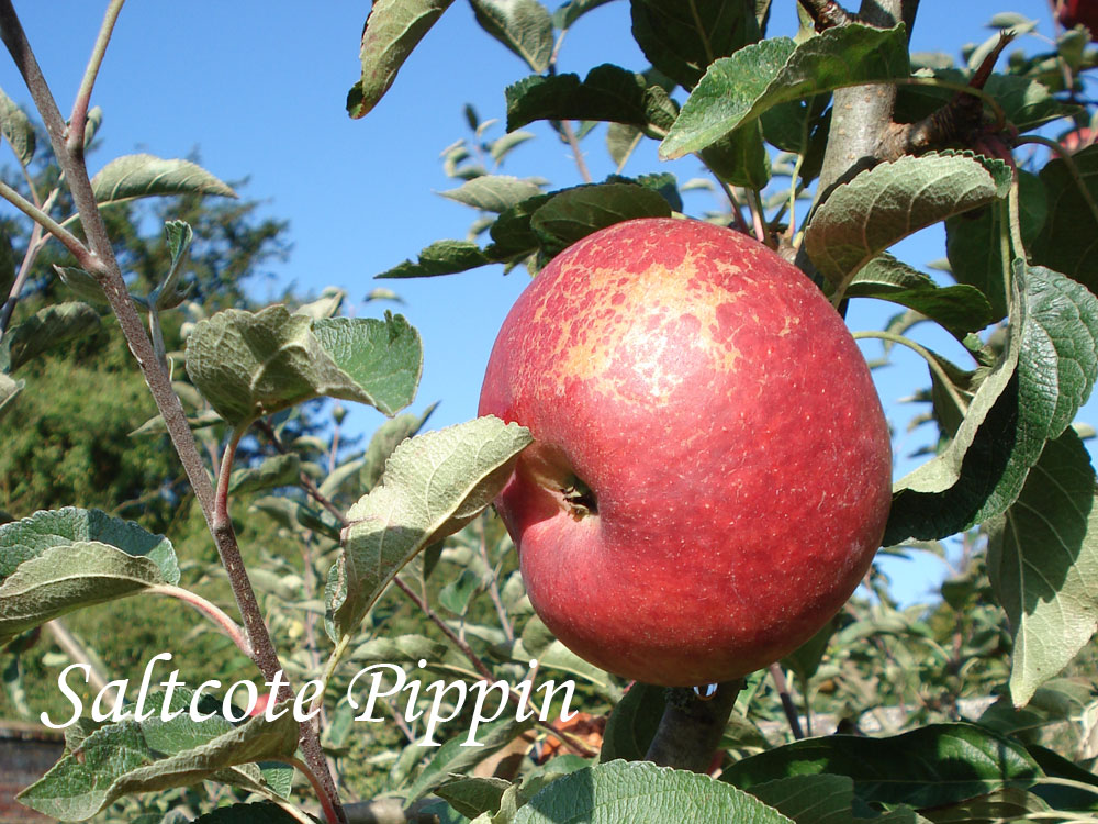 Saltcote Pippin apple