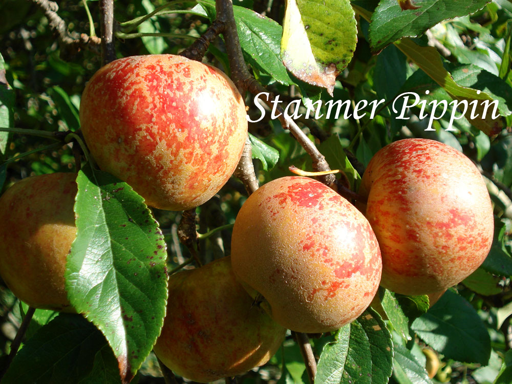 Stanmer Pippin apple