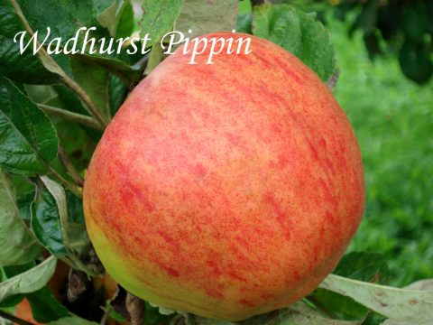 Wadhurst Pippin apple